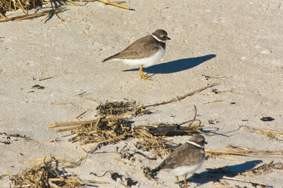 Crane Beach provides the perfect habitat for Piping Plovers