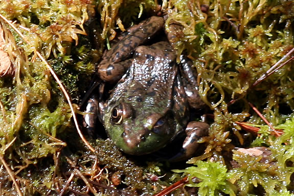 Join a naturalist from Joppa Flats Education Center on a frog hunt at Mill Pond in West Newbury!