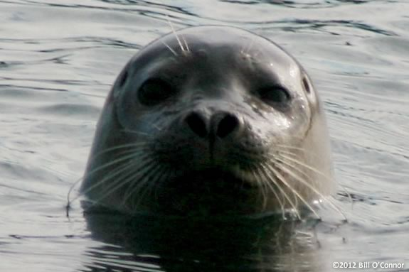 Learn all about harbor seals at Joppa Flats Education Center! Photo ©Bill O'Connor