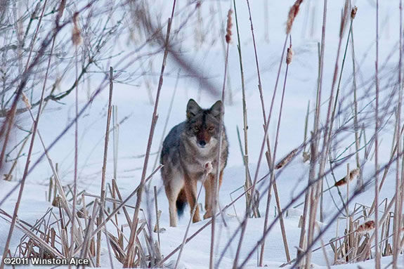 Find out how carnivorous predators use instinct and skill to survive winter
