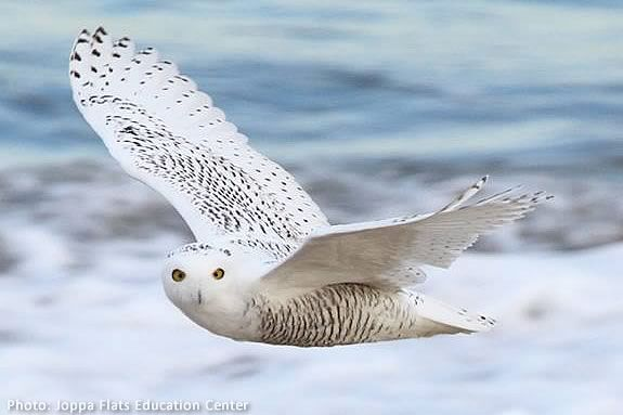 Learn about the owls of the North Shore at Parker River National Wildlife Refuge