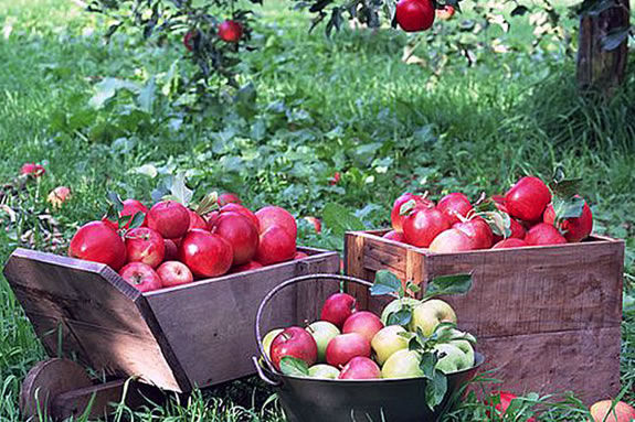 Our list of North Shore Farms that offer organic local pick-your-own apples
