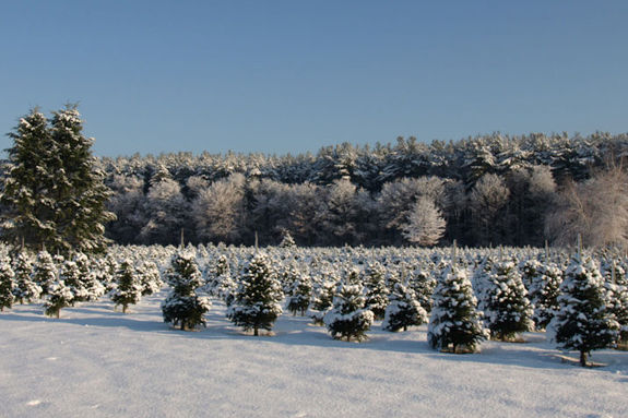 Cut your own tree farm on the north shore