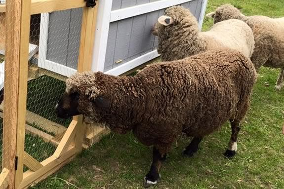 Learn about the process of making felt from wool at Appleton Farms in Ipswich Massachusetts during February Vacation!