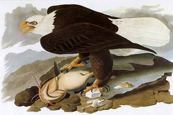 John James Audubon's painting of a Bald Eagle. Come to Joppa Flats to learn more