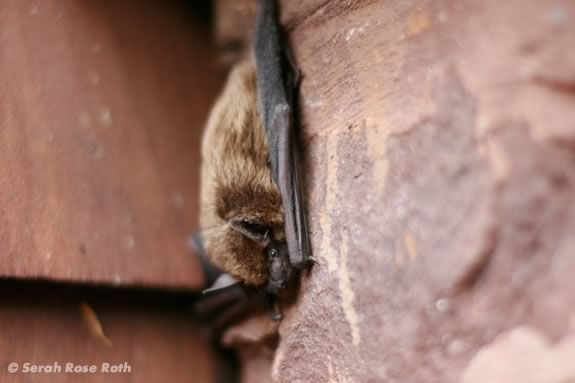 Kids will learn about bats at Halibut Poijnt State Park in Rockport, Massachsuetts! Image ©Serah Rose Roth
