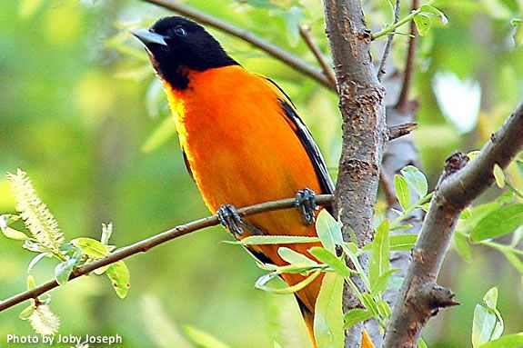 Baltimore Orioles by Barbara Brenner is today's Nature Tale at IRWS