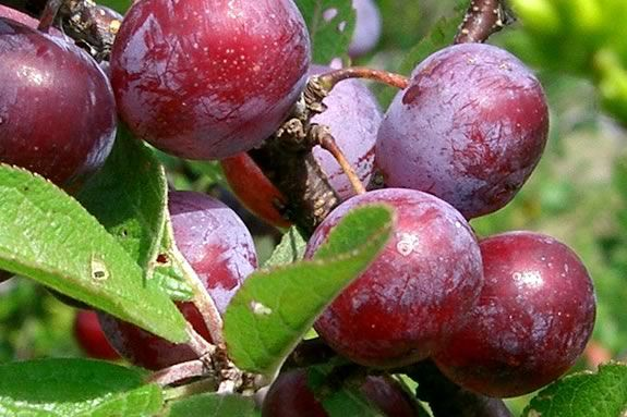 Learn about Beach Plums and making jam at this 'Appleton Cooks' Session in Ipswich MA!