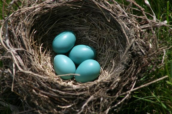 Families will learn about bird nests at Ipswich River Wildlife Sanctuary. Photo: Robin's Nest Bill O'Connor