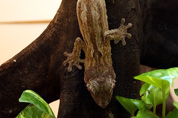 Geckos are fascinating creatures that kids enjoy learning about at MOS