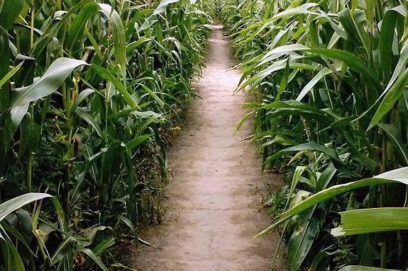 Kimball Farm corn maze in Haverhill Massachusetts