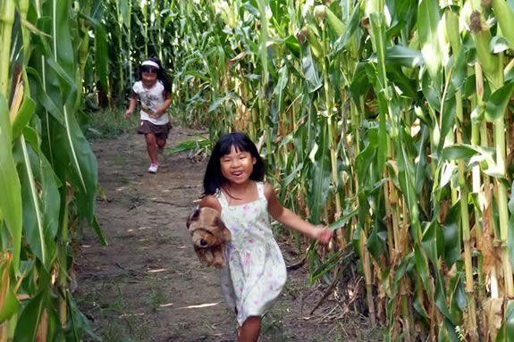 Crescent Farm corn maze in Haverhill Massachusetts