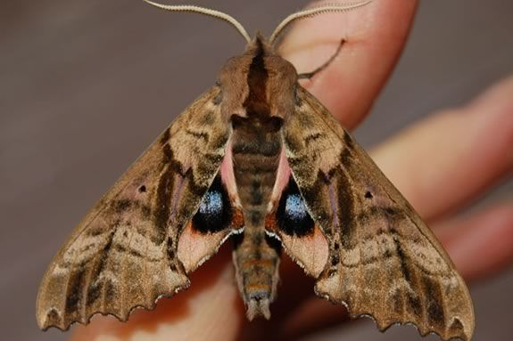 Come learn about moths at the Trustees of Reservations' Stevens-Coolidge Estate in North Andover