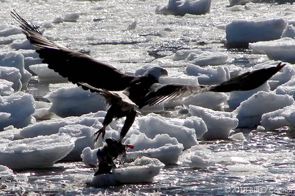 Come celebrate the return of the Eagles to the Merrimack Estuary! Photo: Eagle on Ice by Bill O'Connor