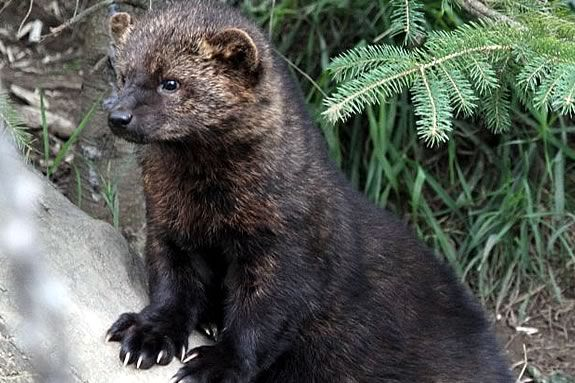 Fisher cats are cute, elusive and dangerous!  Find out all about them at IRWS!