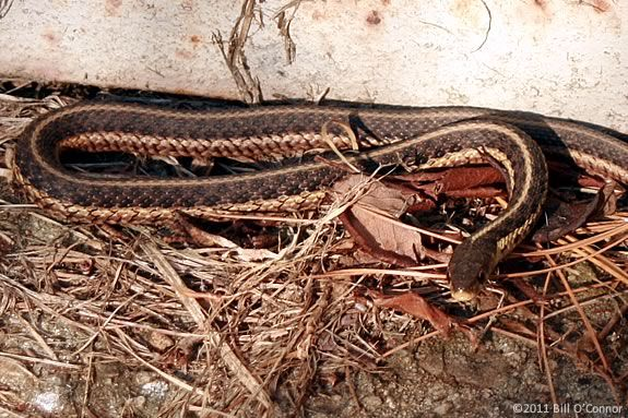 Hunt for snakes with Rick Roth of the Cape Ann Vernal Pond Team!