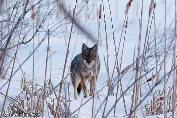Find out where coyotes get food and how they keep warm through the winter.
