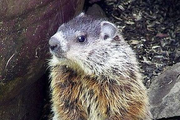 Celebrate Groundhog Day with Mass Audubon's Ipswich River Wildlife Sanctuary in Topsfield! Photo: Ipswich River Wildlife Sanctuary