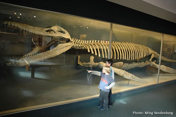 The Harvard Museum of Natural History has the only mounted kronosaurus