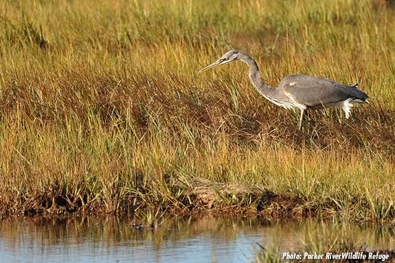 A heron stalks prey at the PArker River Wildlife Sanctuary