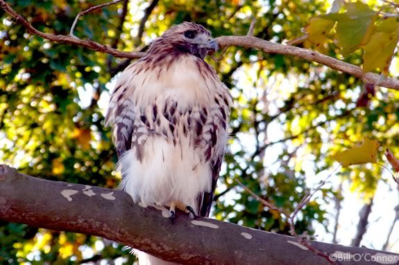 Come observe the red-tailed hawks that have roosted at Maudlsay State Park in Newburyport
