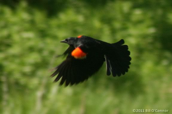 This Afterschool Session at Joppa Flats focuses on red winged blackbirds