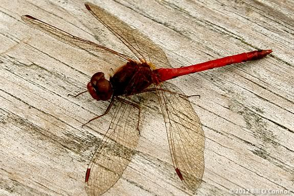 Dragonflies don't breath fire, so how did they get their name? Find out at Joppa