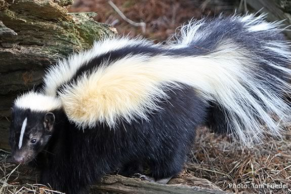 Kids will learn all about skunks by making art at the Mass Audubon Joppa Flats E
