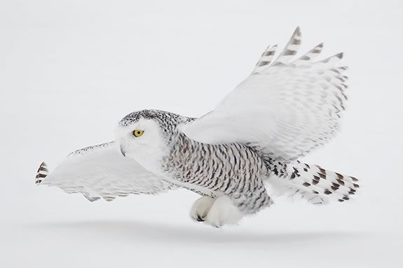 Join the Trustees of Reservations at  the Crane Wildlife Refuge in Ipswich Massachusetts in search of the Snowy Owl!
