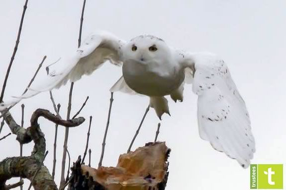 Snowy owls are just one of the surpises that you might find on the trails of the Crane Wildlife Refuge in Winter!