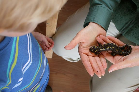 Ramona Latham - Directory of the Discovery Center at Ravenswood park in Gloucester, holds a yellow spotted salamander for closer inspection.