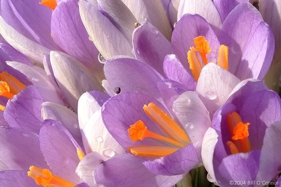 Spring Crocuses are a wonderful goodbye to Winter!