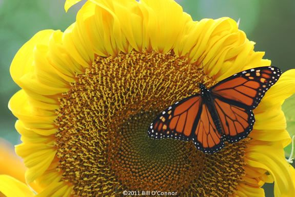 Come to Endicott Wildlife Sanctuary to learn about Monarch Butterflies!