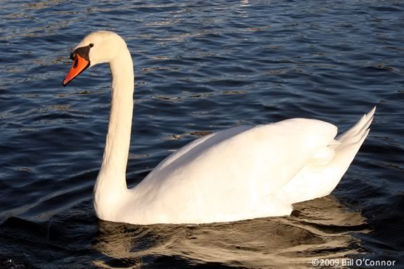 Kids will learn about swan ducks and geese at Mass Audubon's Jopp Flats Center