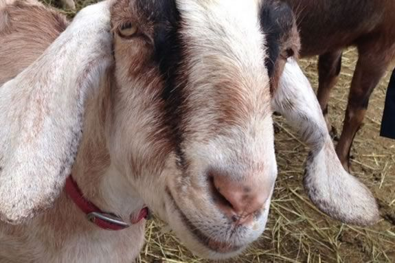 Tour Valley View Farm's goat cheese operation as part of Essex Heritage's Trails and Sails!