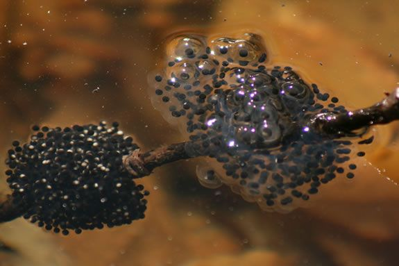 Amphibian eggs are just part of the natural wonders found in vernal pools.