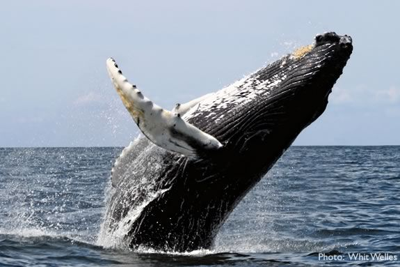 A whale breaches on Stellwagen Bank off of the coast of Massachusetts.
