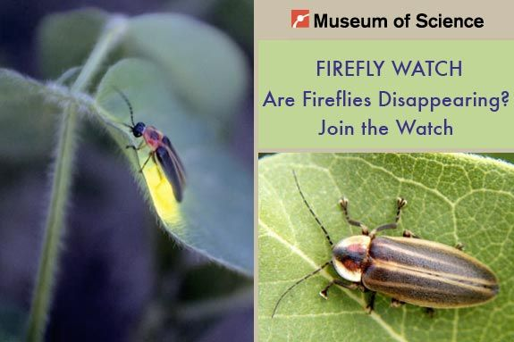 Are Fireflies Disappearing? Join the Museum of Science Watch
