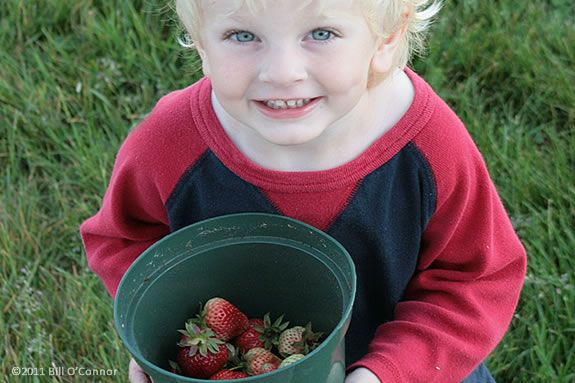 Picking Strawberries is a fun and delicious way to spend part of your day