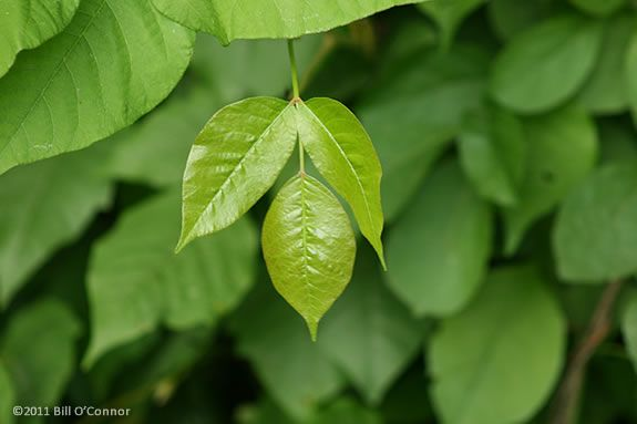 "Poison Ivy has three leaves on each branch node. ""Leaves of Three, Let it Be."""