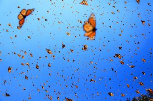 Flight of the Butterflies fundraiser showing at Cape Ann Community Cinema for Kestrel Education Adventures