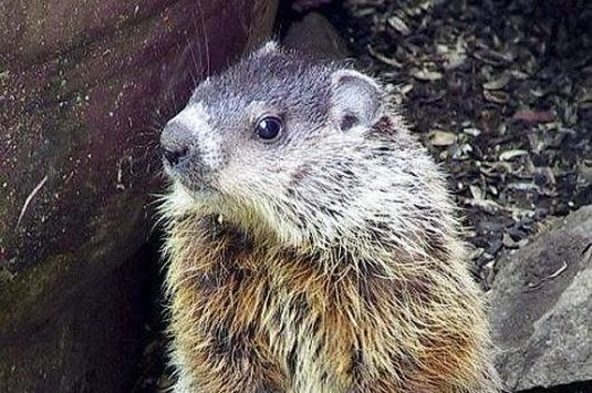 Celebrate Groundhog Day with The Trustees of Reservation at the Crane Estate in Ipswich Massachusetts!