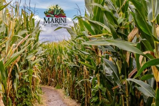 The 2016 Marini Farm Corn Maze is pirate themed! Kernals of Gold in Ipswich MA AAAArgh!